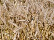 Тритикале фуражный - зерно
