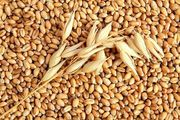 Пшеница фуражная постоянно опт