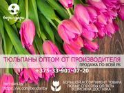 Продажа тюльпанов оптом. РБ