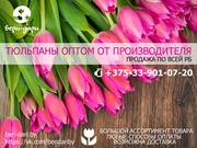 Продажа тюльпанов оптом. Высокое качество
