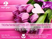 Тюльпаны оптом от производителя