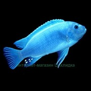 Зебра - голубая - 5р