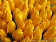 Тюльпаны оптом и в розницу в Минске
