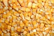 Кукуруза фуражная опт покупаем постоянно