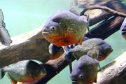 Пираньи бассейна реки Амазонка