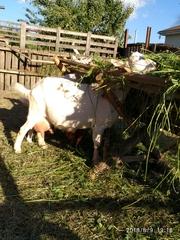 Зааненские козы и молодняк.