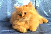 Котенок - девочка персидской породы.