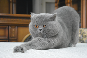 Вязка.Британский Кот голубого окраса
