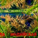 Ротала ----- аквариумные растения и много других аквариумных растений