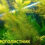 Роголистник -- аквариумное растение,   много разных растений