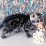 Шотландские котята.скоттиш-страйт.