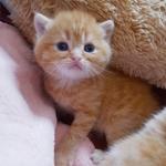 Солнечные котики./шотландские коты.