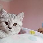 Щотландская кошечка/котенок.