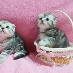 Котятки мраморятки.от титулованных родителей.