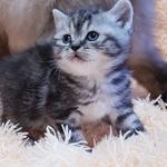 Котята скоттиш-страй в мраморных шубках.