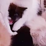 Белоснежка, котенок в добрые ручки.