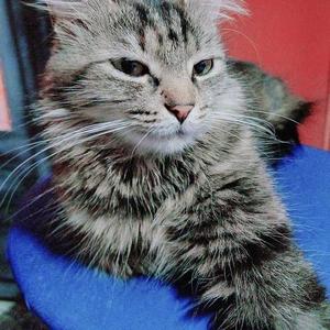 Минск!!! Лесная кошка Юта в дар !!!