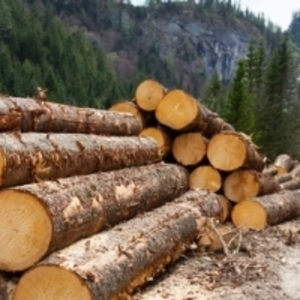 Осуществляем постаку кедра и лиственницы на территорию РБ.
