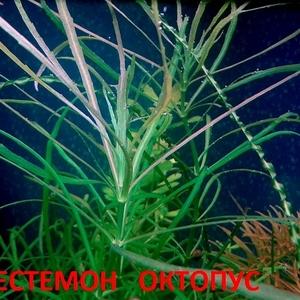 Погестемон октопус --- аквариумное растение и другие растения...