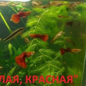 КРАСНАЯ -- АЛАЯ -- гуппи -- чистая линия. аквариумные РЫБЫ