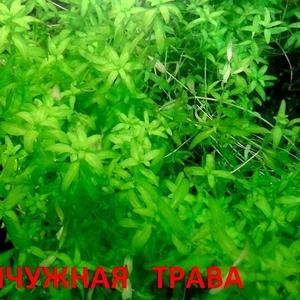 Жемчужная трава - аквариумное растение и много других растений