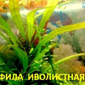 Гигрофила иволистная - аквариумное растение и разные растения.