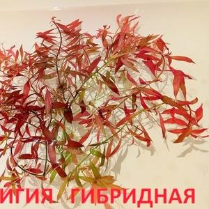 Людвигия гибридная и др. растения - НАБОРЫ растений для запуска. ПОЧТО