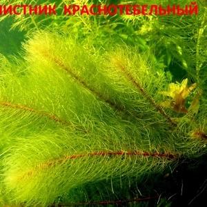 Перестолистник красностебельный. НАБОРЫ растений на запуск. ПОЧТОЙ