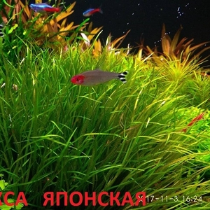 Бликса японская.. НАБОРЫ растений для запуска. ПОЧТОЙ и МАРШРУТКОЙ отп