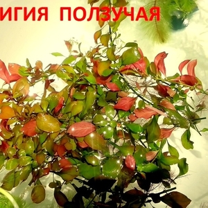 Людвигия ползучая. Наборы растений для запуска.