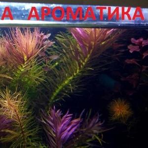 Лимнофила ароматика.. НАБОРЫ растений для запуска. ПОЧТОЙ отправ-