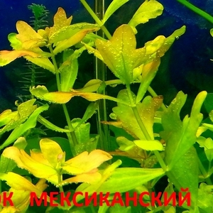 Дубок  мексиканский -- аквариумное растение... и много других разных растений