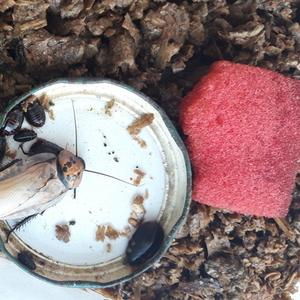 Оранжевоголовые тараканы собственного разведения