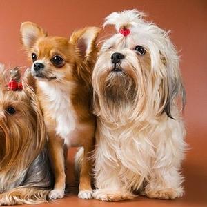 Дрессировка мелких пород собак. Групповые занятия