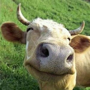 Продам священную корову,  дорого