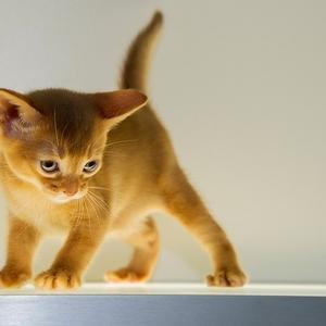 Абиссинский котенок. Шоу-класс.