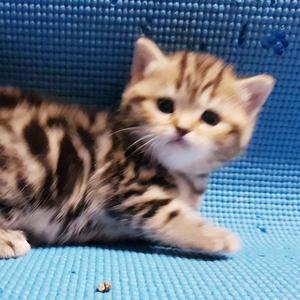 Шотландские котята редкого окраса.