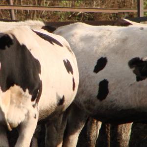 Срочно купим у организации лошадей и жеребят.