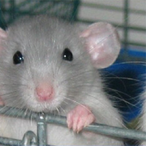 Крыски,  кролики,  хомячки,  песчанки,  морские свинки! Все очень красивые