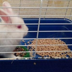 белый декоративный кролик