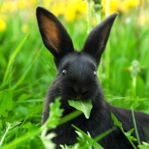 Kролики породы калифорния и другие