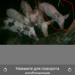 Продам поросят обыкновенной белой свинки