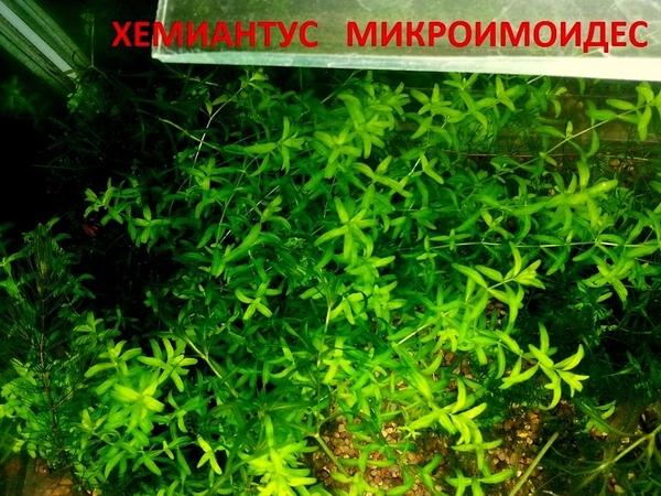 Погестемон октопус -- аквариумное растение и другие... 7