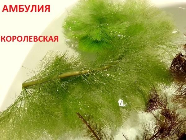 Перестолистник красностебельный -- аквариумное растение и еще... 3