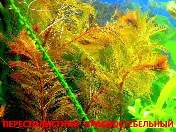 Перестолистник красностебельный -- аквариумное растение и еще... 4