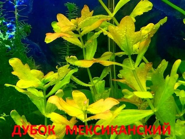 Перестолистник красностебельный -- аквариумное растение и еще... 11