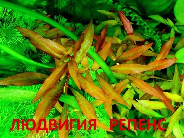 Гигрофила иволистная -- аквариумное растение и другие растения. 8