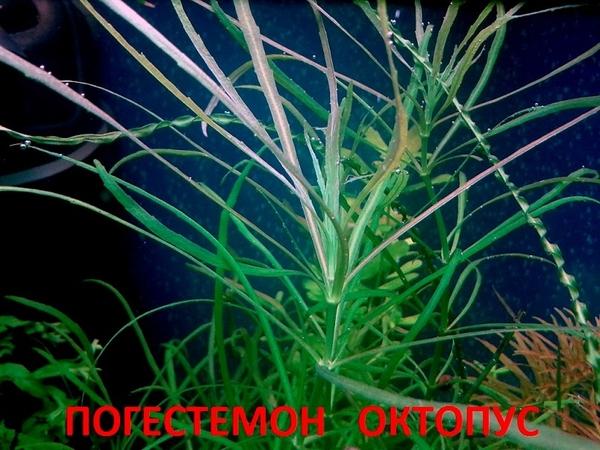 Гигрофила иволистная -- аквариумное растение и другие растения. 9
