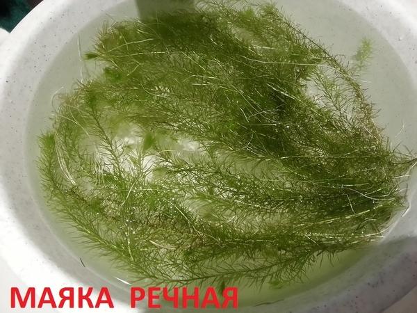 Мох крисмас --- аквариумное растение и  разные растения. 3