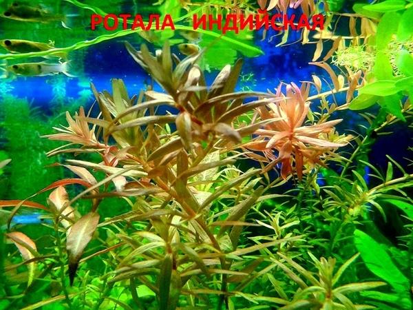 Роголистник -- аквариумное растение и много разных растений... 10